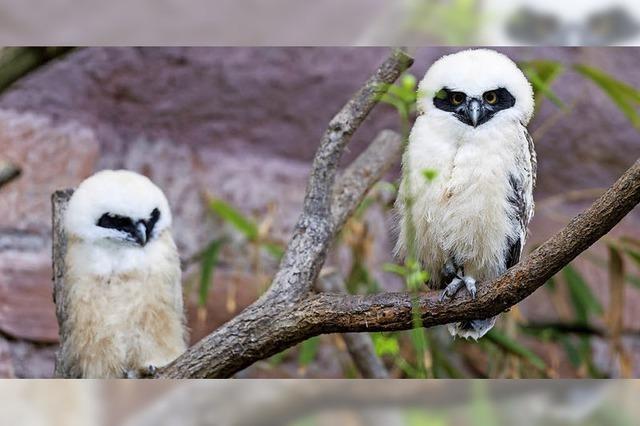Brillenkauz-Familie im Basler Zoo hat Nachwuchs