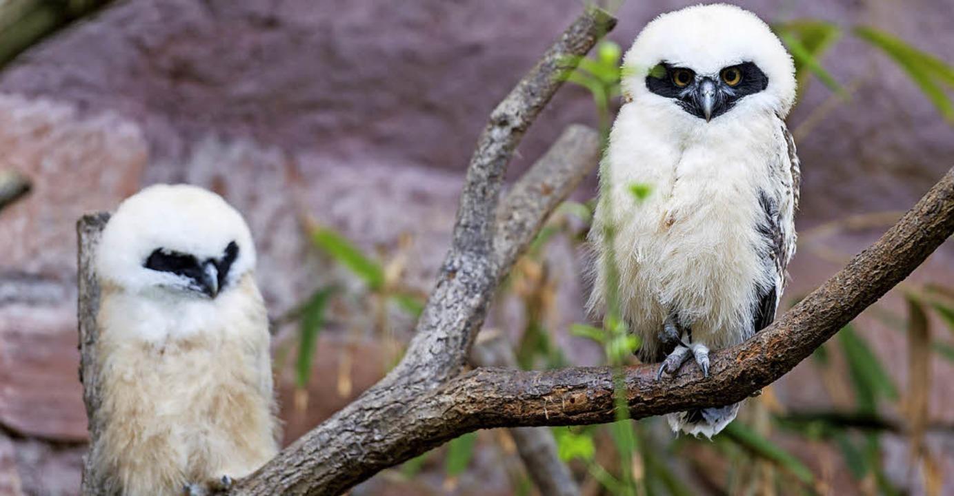 Die beiden Jungen warten darauf, gefüttert zu werden.     Foto: Torben Weber