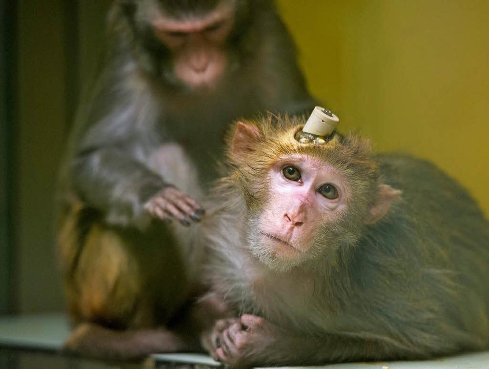 Zwei Rhesus-Affen,  einer mit Implanta... Die Aufnahme entstand im April 2016.   | Foto: dpa