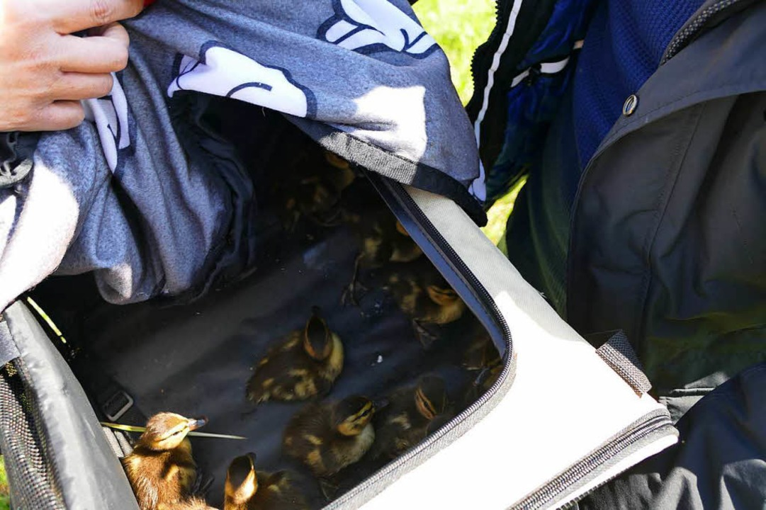 In einer Hundetragetasche wurden die Küken von der Straße gebracht.    Foto: Ralf H. Dorweiler