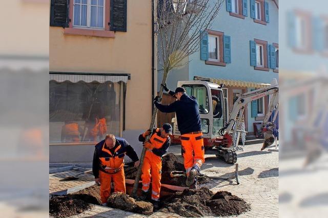 60 neue Bäume fürs Stadtgebiet
