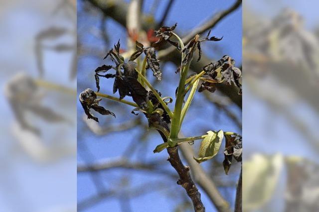 Massive Schäden bei Reben, Obstbäumen und auch Gemüse