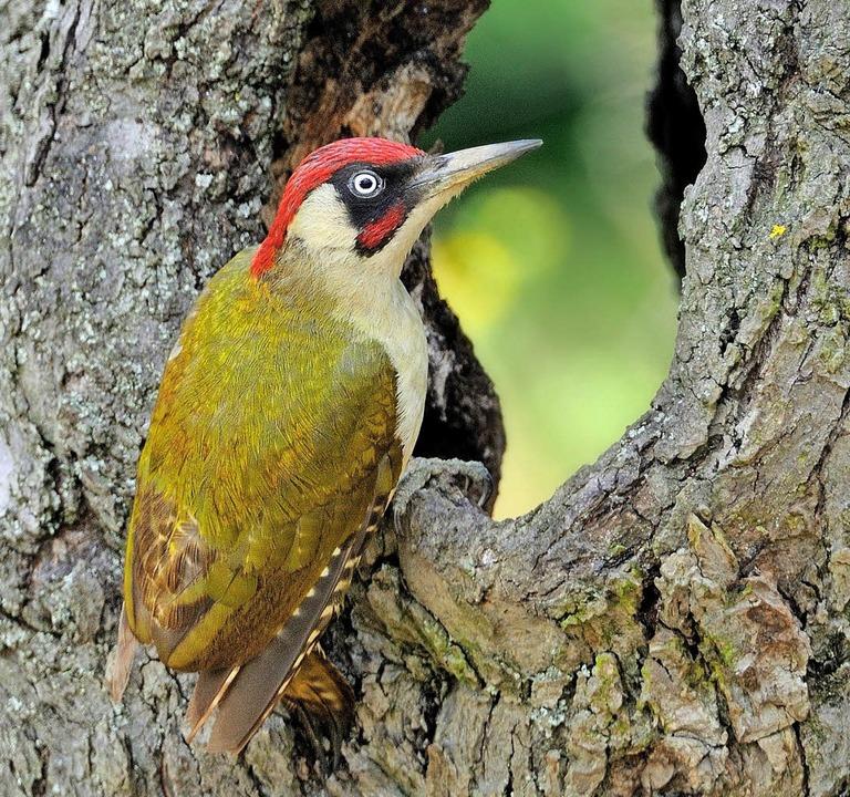 Einer der Stars des Vogelkonzerts: der Grünspecht     Foto: dpa/Steinhart