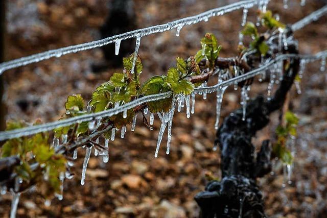 Bibbern um die Existenz: Bauern nicht gegen Frost versichert