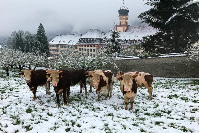 Schnee überrascht Jungvieh