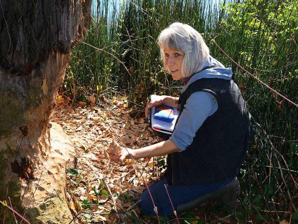 Baumschützern ist es ein Graus: Bettina Sättele  inspiziert ein Biberwerk  | Foto: Stefan Hupka