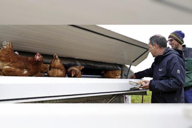 440 Hennen picken im satten Grün