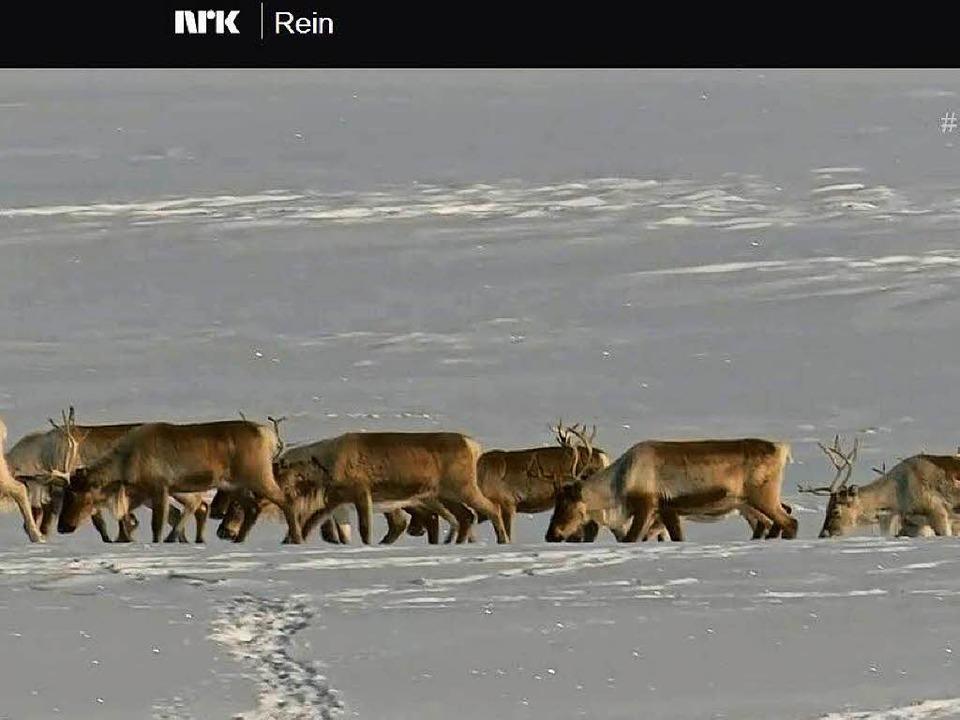 NRK ist vor Ort dabei, wenn Rentiere in Norwegen ihr Sommerlager suchen.   | Foto: NRK (Screenshot)