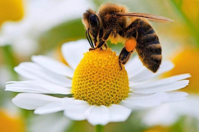 Bienen schwärmen wieder aus – das neue Honigjahr startet