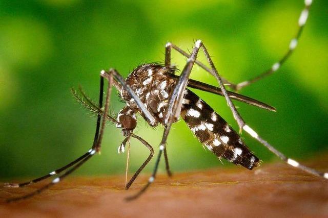 Ohne Förderung der Stadt droht in Freiburg die Tigermücken-Plage