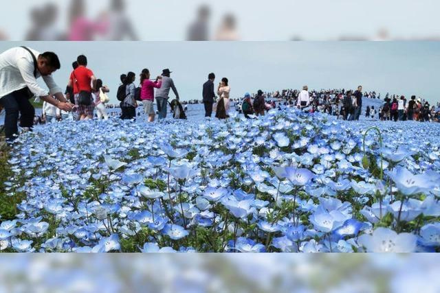 Blaue Blüten begeistern in Japan