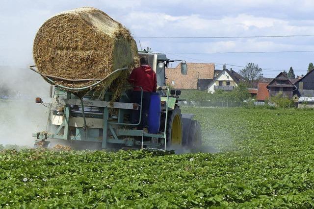Stroh als saubere Unterlage für Erdbeeren