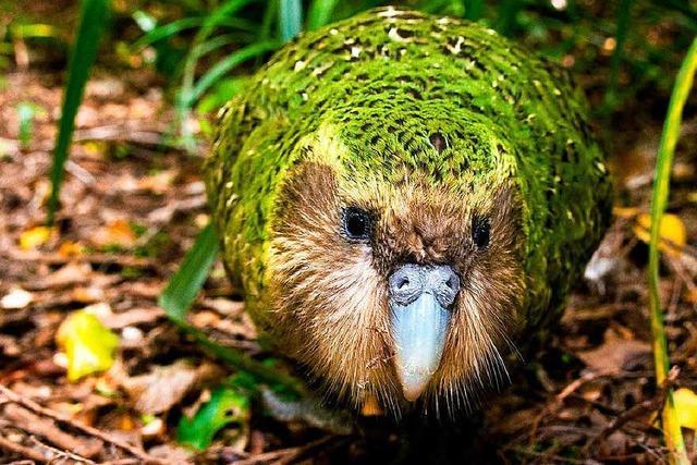 Der Kakapo ist der hässliche Star von Neuseelands Fauna