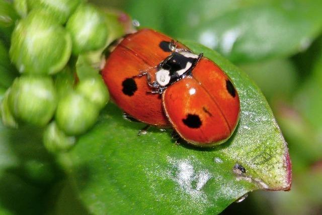 Bestand des Zweipunkt-Marienkäfers ist gefährdet