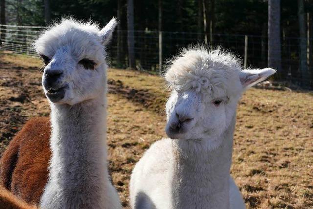 Alpakas werden zur Therapie von Jugendlichen eingesetzt