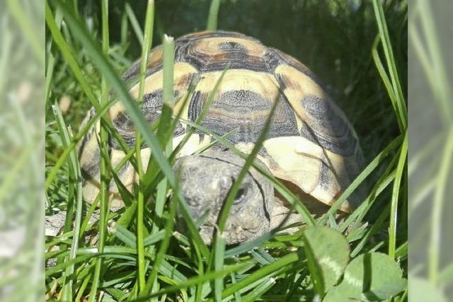Im Winter gräbt sich die Schildkröte tief in die Erde ein
