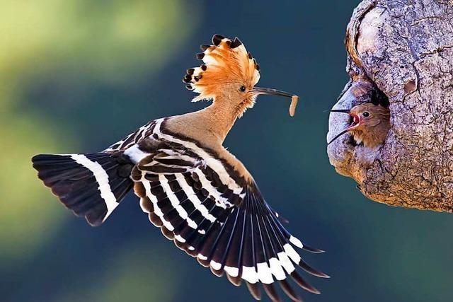 Zahl der heimischen Vögel geht zurück – Am Wochenende startet die Vogelzählung