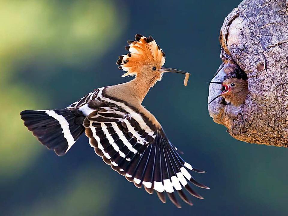 Ein Wiedehopf füttert seinen Nachwuchs.  | Foto: Demmel/Drakuliren (fotolia)/dpa (3)/privat
