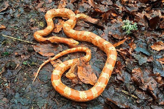 Orangefarbene Schlange in Garten entdeckt