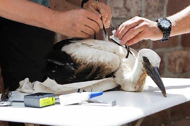 Storch Angela aus Kürzell ist in Spanien unterwegs