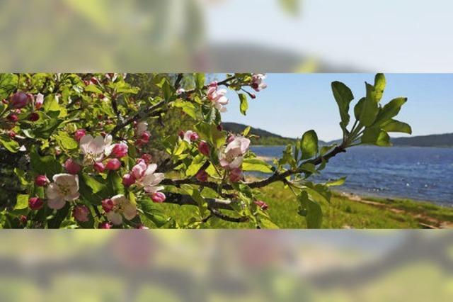 Schluchseeblüte