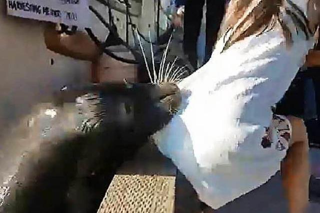 Seelöwe zieht Mädchen bei Vancouver unter Wasser