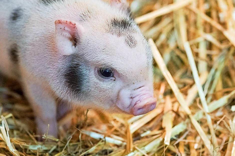 Nachwuchs im Zolli: Sechs Minipigs sind kürzlich auf die Welt gekommen. (Foto: Zoo Basel (Torben Weber))