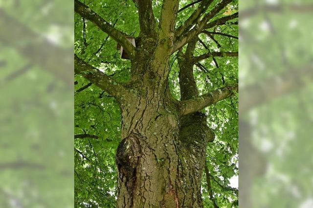 Bäume werden geimpft