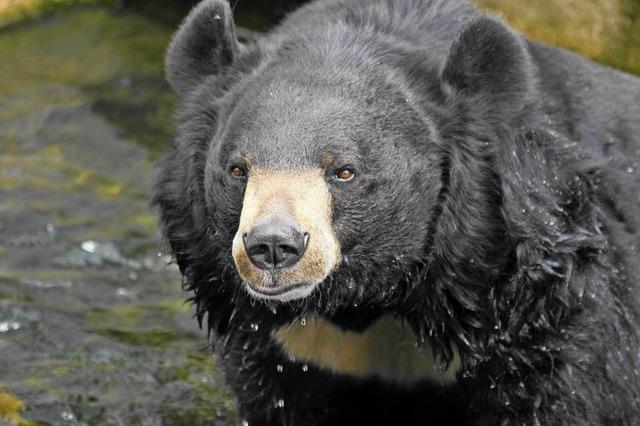 Das perfide Geschäft mit Bärengalle
