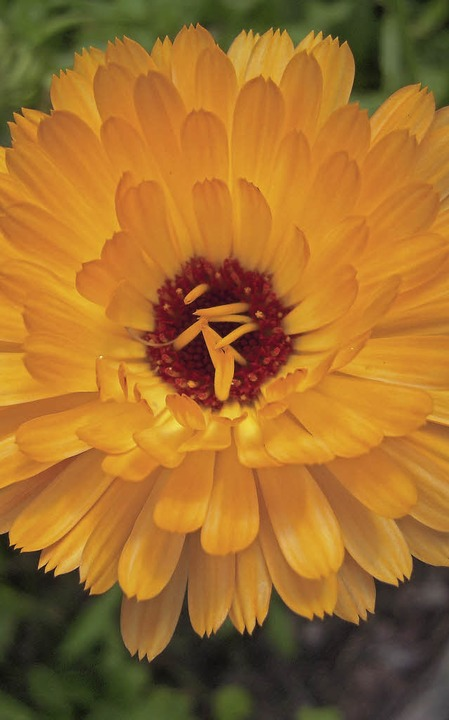 Ringelblume mit kräftiger Farbe  | Foto: Edith Jost