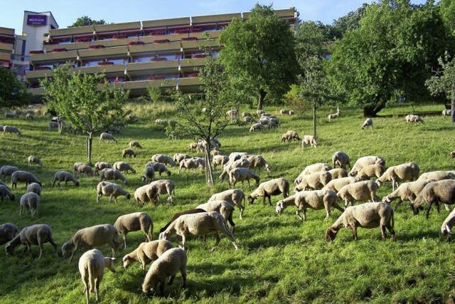 Schafe als Landschaftspfleger