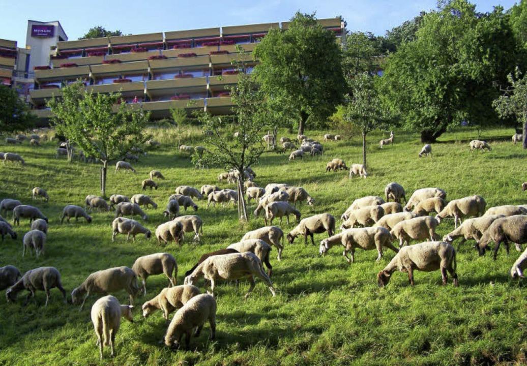 Schafe und Ziegen sollen dazu beitrage...hhalde (beim Panoramahotel Mercure).    | Foto: Hans Sigmund