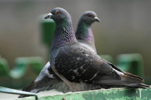 Mann schießt auf Tauben – Wohnung durchsucht
