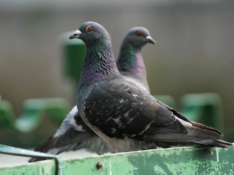 Der Mann aus Kehl hat offenbar Tauben angeschossen.    Foto: dpa
