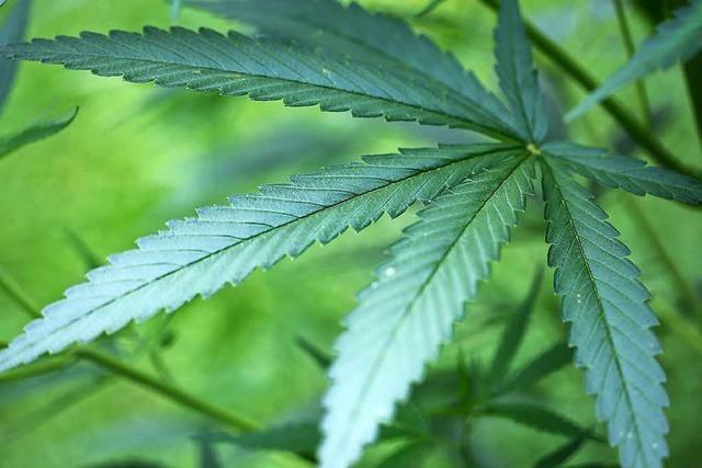 300 Cannabispflanzen im Bauernhaus-Keller angepflanzt