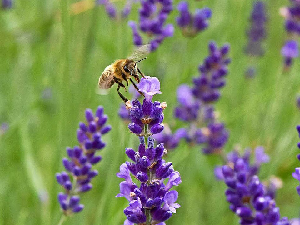 1200 Lavendelstöcke sorgen beim Lavend...ch-Buchholz für provenzalisches Flair.  | Foto: Andrea Schiffner