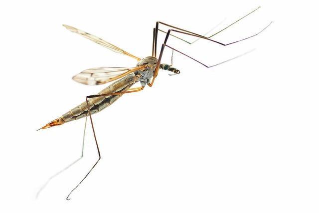 Weniger Stechmücken am Oberrhein