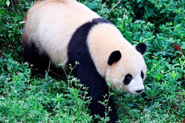 Riesenpandas sollen Besucher im Berliner Zoo begeistern