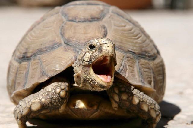 Haben Diebe in Huttingen vier Landschildkröten gestohlen?