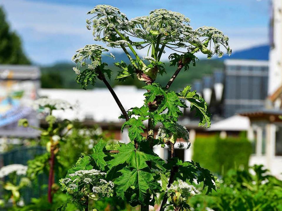 Achtung, Pflanze: Der Riesen-Bärenklau...ontakt üble Verbrennungen verursachen.  | Foto: Thomas Kunz
