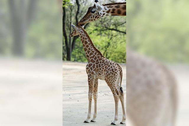 Baby-Giraffe Onong hat sich gut im Zoo Basel eingelebt