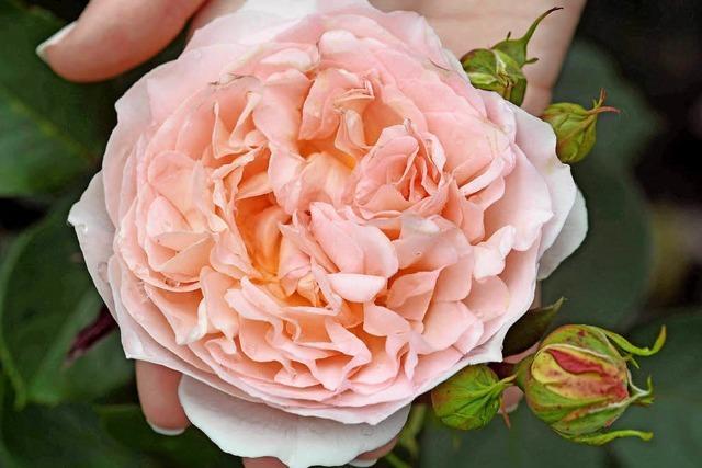 Die Goldene Rose ist pink