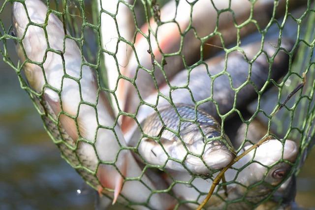 Bürgerin bemerkt Fischwilderei in der Wiese in Lörrach