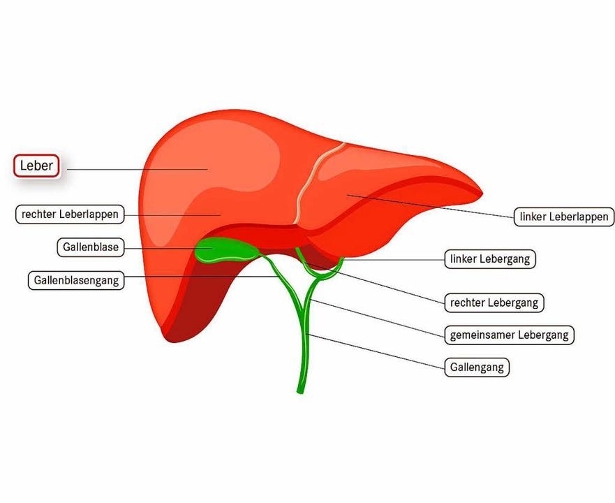 Die Leber ist das Kraftwerk des Körpers - Gesundheit & Ernährung ...