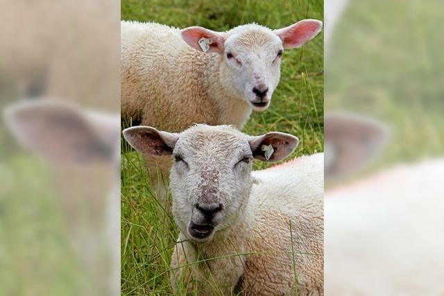 Von Schafskälte ist weit und breit nichts zu spüren