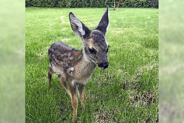 Falsche Fürsorge ist für Bambi tödlich