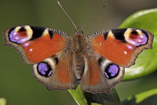 Mit dem Nabu auf Schmetterlingsexkursion bei Lörrach