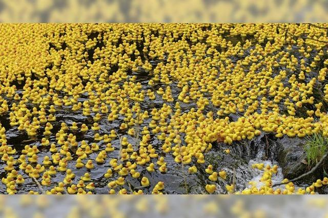Enten färben Dreisam gelb