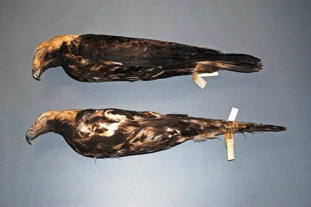 Schweizer stiehlt Federn aus Museen für seine Sammlung