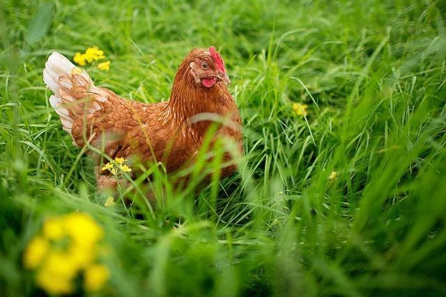 Grenzach-Wyhlen: Hühnerdiebe unterwegs